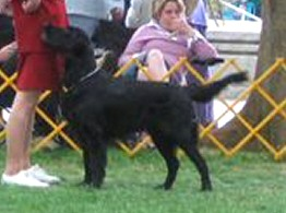 Cosmo winning a Judge's Award of Merit in Best of Breed class